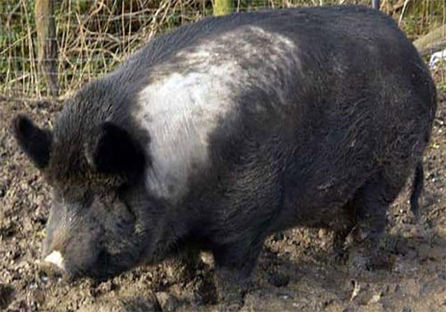 Iron-Age-Pig