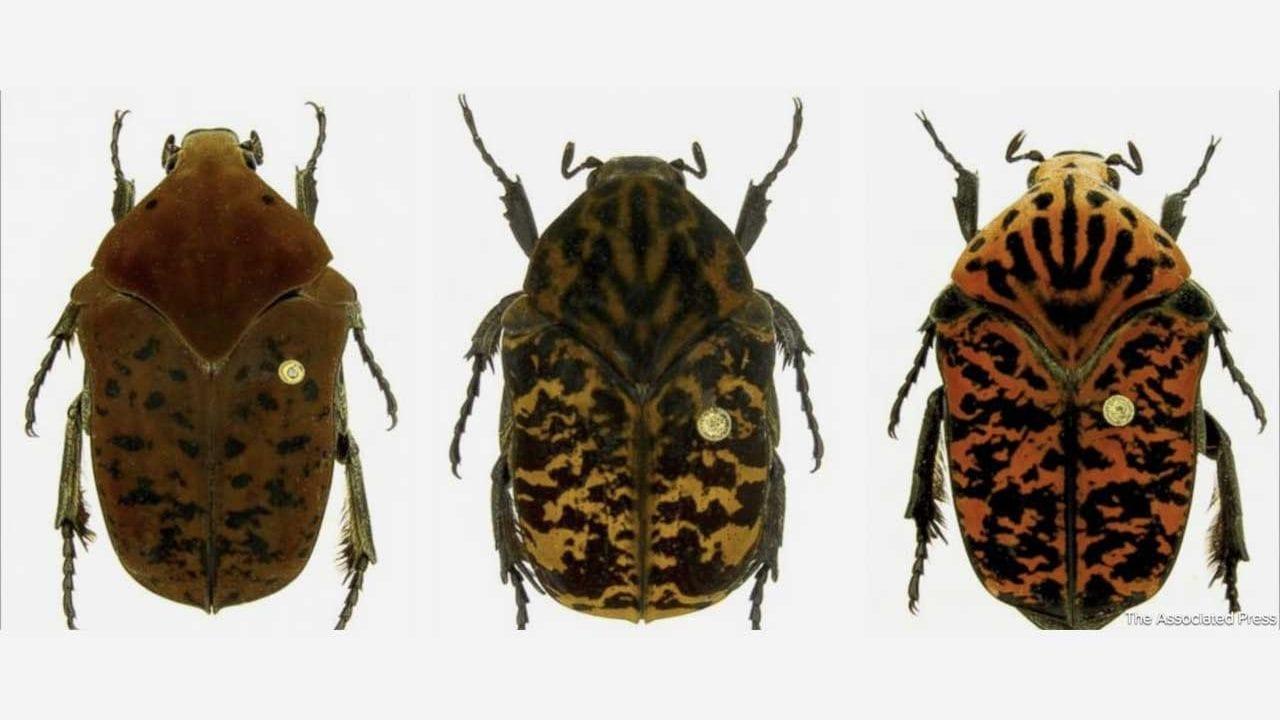 """3 neue Käferarten wurden nach """"Game of Thrones""""-Figuren benannt"""